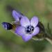 Gilia millefoliata - Photo (c) Jeb Bjerke, algunos derechos reservados (CC BY-NC-SA)