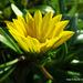 Gazania rigens uniflora - Photo Sem direitos reservados