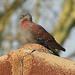 Columba guinea phaeonota - Photo (c) Ernest Porter, μερικά δικαιώματα διατηρούνται (CC BY-NC)