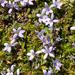 Lobelia ionantha - Photo (c) Shirley Kerr, some rights reserved (CC BY-NC)