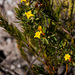 Yellow Capesaffron - Photo (c) magriet b, some rights reserved (CC BY-SA)