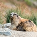 Olympic Marmot - Photo (c) Chris Law, some rights reserved (CC BY-NC)