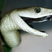 Black Mamba - Photo (c) viperskin, some rights reserved (CC BY-NC-SA)