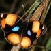 Junonia hierta cebrene - Photo (c) Wynand Uys, algunos derechos reservados (CC BY)