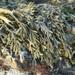 Pelvetiopsis limitata - Photo (c) Jerry Kirkhart, algunos derechos reservados (CC BY)