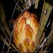 Protea scabra - Photo (c) magriet b, algunos derechos reservados (CC BY-SA)