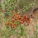 Sweet Bursaria - Photo (c) Wayne Martin, some rights reserved (CC BY-NC)