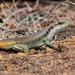 Rainbow Skink - Photo (c) Wynand Uys, some rights reserved (CC BY)