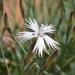 Dianthus namaensis - Photo (c) pietermier, algunos derechos reservados (CC BY-NC)