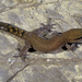 Brosset's Lizard-fingered Gecko - Photo (c) Roberto Sindaco, some rights reserved (CC BY-NC-SA)