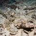 Platycephalidae - Photo (c) 104623964081378888743, algunos derechos reservados (CC BY-NC), uploaded by David R