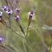 Verbena brasiliensis - Photo (c) pietermier, algunos derechos reservados (CC BY-NC)