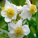 Carpenteria californica - Photo (c) James Gaither, algunos derechos reservados (CC BY-NC-ND)