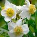 Carpenteria californica - Photo (c) James Gaither,  זכויות יוצרים חלקיות (CC BY-NC-ND)