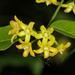 Secamone parvifolia - Photo (c) Wynand Uys, algunos derechos reservados (CC BY)