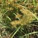 Cyperus engelmannii - Photo (c) Tomás Curtis, algunos derechos reservados (CC BY-NC)