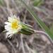 Stebbinsoseris heterocarpa - Photo (c) 2008 Keir Morse, algunos derechos reservados (CC BY-NC-SA)