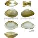 Potamocorbula amurensis - Photo (c) Kim, Hyun-tae, algunos derechos reservados (CC BY-NC-SA)