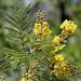 Weeping Wattle - Photo (c) Wynand Uys, some rights reserved (CC BY)