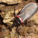 Brontostoma colossus - Photo (c) Nicolas Olejnik, algunos derechos reservados (CC BY-NC)