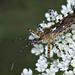 Cosmoclopius nigroannulatus - Photo (c) Nicolas Olejnik, algunos derechos reservados (CC BY-NC)