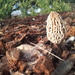 Woodchip Morel - Photo (c) joewan, some rights reserved (CC BY-NC)