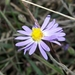 Symphyotrichum praealtum - Photo (c) jameswbeck, osa oikeuksista pidätetään (CC BY-NC), uploaded by James W. Beck