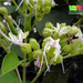 Clerodendrum villosum - Photo (c) Ria Tan, some rights reserved (CC BY-NC-SA)
