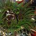 Aulactinia veratra - Photo (c) John Turnbull, osa oikeuksista pidätetään (CC BY-NC-SA)