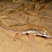 Anderson's Short-fingered Gecko - Photo (c) Roberto Sindaco, some rights reserved (CC BY-NC-SA)