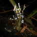 Puerto Rico Ghostplant - Photo (c) Reinaldo Aguilar, some rights reserved (CC BY-NC-SA)