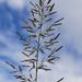 Eragrostis - Photo (c) Patrick Hacker, algunos derechos reservados (CC BY)