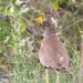 Vanellus senegallus lateralis - Photo (c) Michael McSweeney,  זכויות יוצרים חלקיות (CC BY-NC)