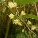 Passiflora tetrandra - Photo (c) Leon Perrie, algunos derechos reservados (CC BY-NC)