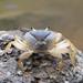 Barytelphusa guerini - Photo (c) Anil Kumar Verma, some rights reserved (CC BY-NC)