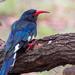 Phoeniculus purpureus - Photo (c) Michael McSweeney,  זכויות יוצרים חלקיות (CC BY-NC)
