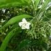 Kraussia floribunda - Photo (c) JMK, some rights reserved (CC BY-SA)