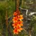 Watsonia schlechteri - Photo (c) Gregory Nicolson,  זכויות יוצרים חלקיות (CC BY-NC)