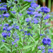 Caryopteris × clandonensis - Photo (c) Colour your Life, μερικά δικαιώματα διατηρούνται (CC BY-NC-ND)