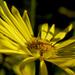 Doronicum austriacum - Photo (c) Paul Gault, μερικά δικαιώματα διατηρούνται (CC BY-NC-SA)