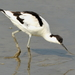 Pied Avocet - Photo (c) Chia aka Cory Chiappone, some rights reserved (CC BY-NC)
