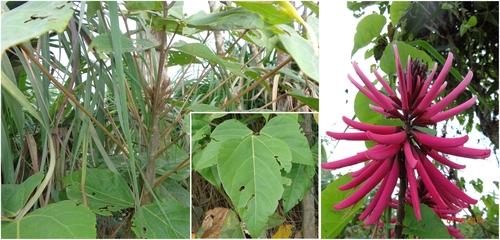 Erythrina amazonica Medium