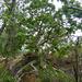 Ficus abutilifolia - Photo (c) Bernard DUPONT, algunos derechos reservados (CC BY-NC-SA)