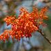 Firmiana colorata - Photo (c) Jayesh Patil, algunos derechos reservados (CC BY-NC-ND)