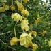 Gardenia volkensii - Photo (c) Wendy Cutler, algunos derechos reservados (CC BY)