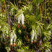 Erica banksia comptonii - Photo (c) carinalochner,  זכויות יוצרים חלקיות (CC BY-NC)