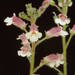 Gloxinia erinoides - Photo (c) Smithsonian Institution, National Museum of Natural History, Department of Botany, algunos derechos reservados (CC BY-NC-SA)