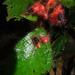 Pearcea rhodotricha - Photo (c) Dick Culbert, algunos derechos reservados (CC BY)