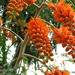 Colvillea racemosa - Photo (c) melanie cook, alguns direitos reservados (CC BY-NC-SA)