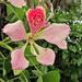 Orquídea de Árbol - Photo (c) Mauricio Mercadante, algunos derechos reservados (CC BY-NC-SA)